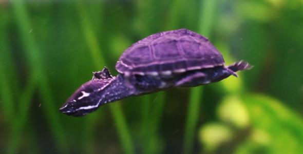 VideoHive Rare Turtle 5562918