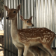 Two Deer - VideoHive Item for Sale