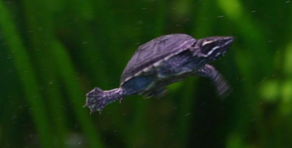 VideoHive Rare Turtle 2 5564003