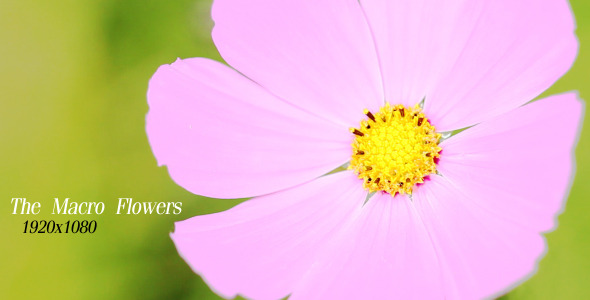 VideoHive The Macro Flower 5564026
