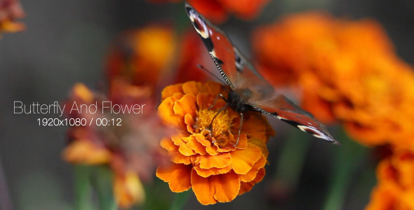 VideoHive Butterfly And Flower 5565479
