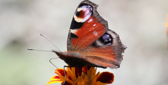VideoHive Butterfly And Flower 2 5565494