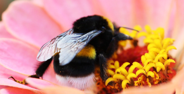 VideoHive Macro Bee And Flower 5565951