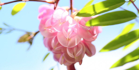 VideoHive Acacia Flower 5568229