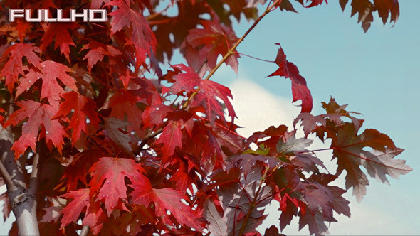 VideoHive Autumn Red Maple 5568280