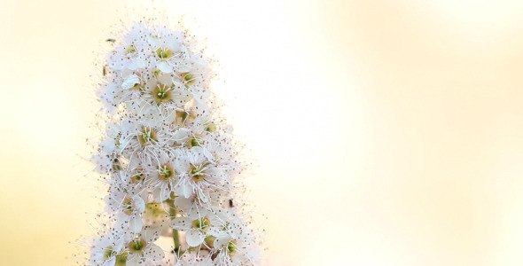 VideoHive The Snow-White Flower 5568898