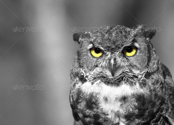 Owl yellow eyes - Stock Photo - Images