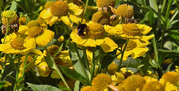 Bumblebee On Yellow Daisies