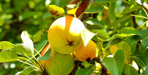 Pear Tree 4