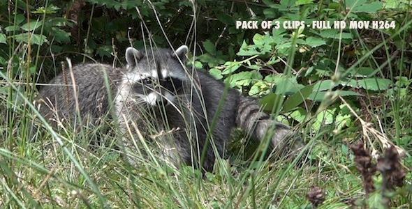 Common Raccoon II Pack of 3