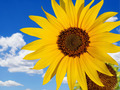 Beautiful Sunflower - PhotoDune Item for Sale