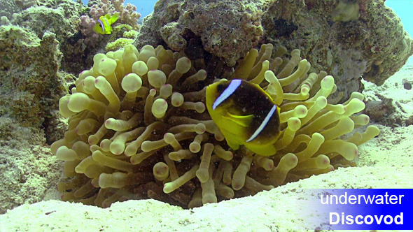 Clown Anemonefish on Coral Reef