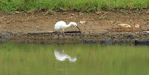Little Egret Egretta garzetta Fishing