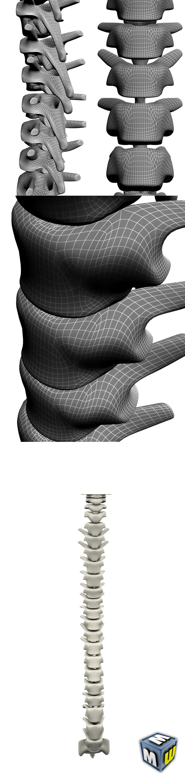 3DOcean Human Spine MAX 2010 5646552