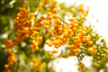 A Yellow Fruit Tree - PhotoDune Item for Sale