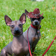 Mexican hairless dog - PhotoDune Item for Sale