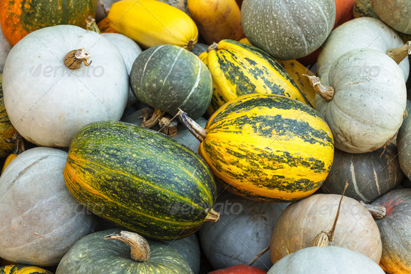 Pumpkin harvesting - Stock Photo - Images