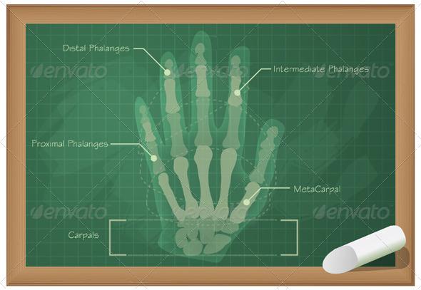 Anatomy of Human Hand Illustration