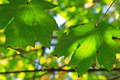 Green Leaves aging on the tree in Autumn - PhotoDune Item for Sale