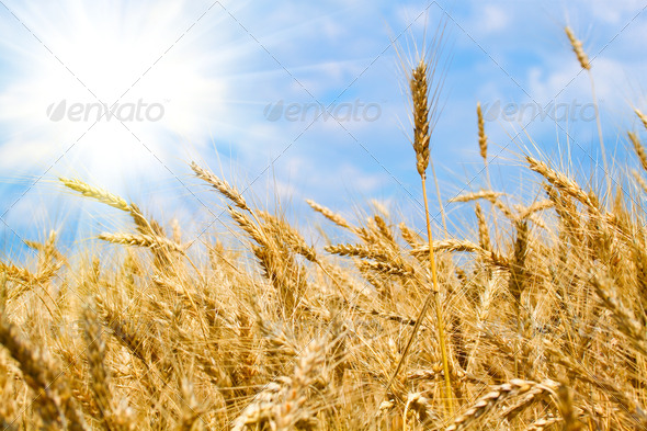 Wheat field - Stock Photo - Images