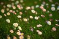 Daisy Field - PhotoDune Item for Sale
