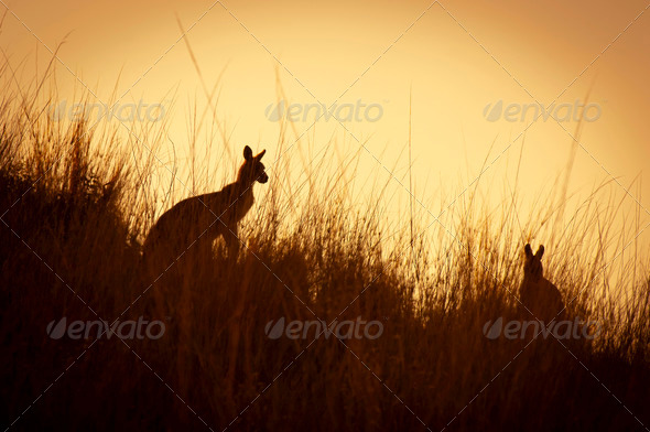 Kangaroo Silhouettes - Stock Photo - Images