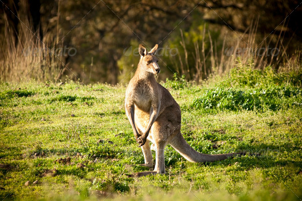 Kangaroo - Stock Photo - Images