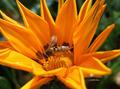 Polenizing Bee - PhotoDune Item for Sale