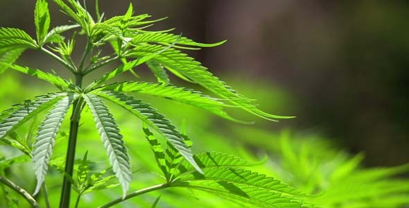 Marijuana Farm in Kathmandu Nepal 5