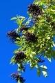 Black Elderberry - PhotoDune Item for Sale