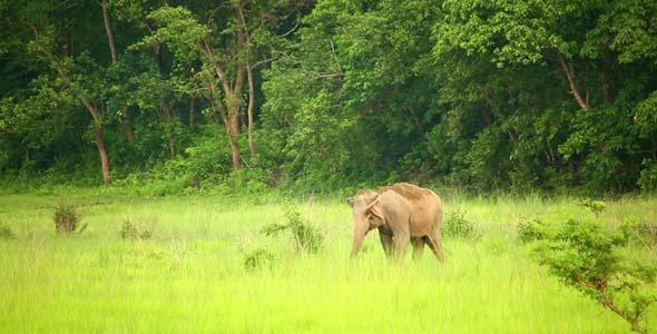 Elephant Grazing In Meadow 2