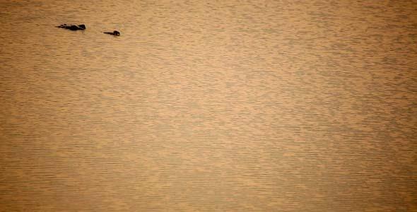 Crocodile Swimming In Water 2