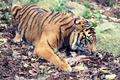 Bone Eating Tiger - PhotoDune Item for Sale