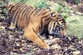 Bone Eating Tiger - PhotoDune Item for Sale