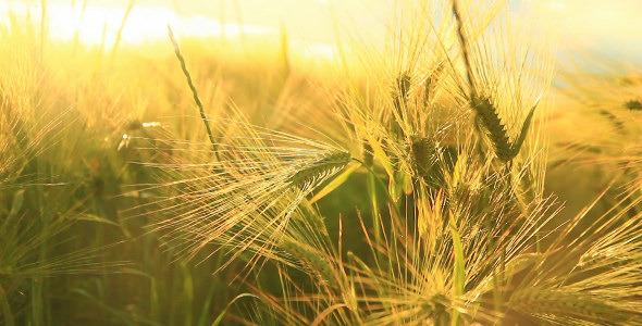 Sunny Wheat
