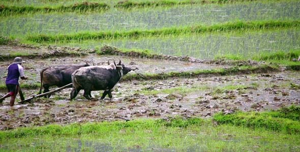 Oxen Ploughing In Rice Paddy 2