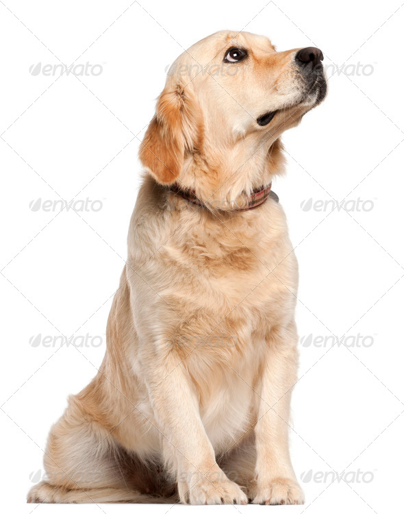 Golden Retriever, 19 months old, sitting in front of white background - Stock Photo - Images