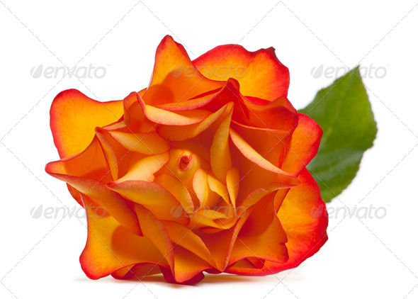 Rose Marie-Claire in front of white background - Stock Photo - Images