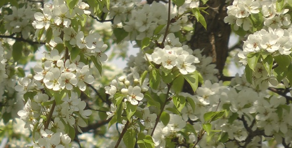 blooming apple trees VideoHive Stock Footage  Nature 596155