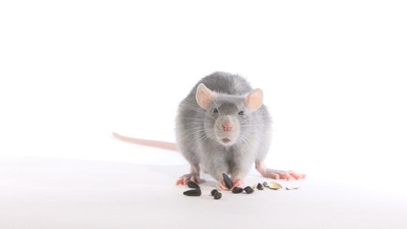 Rat Gnaws Seeds