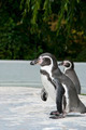 Magellanic Penguin - PhotoDune Item for Sale