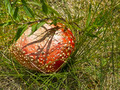 Red Fly Agaric 2 - PhotoDune Item for Sale