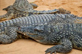 Crocodiles - PhotoDune Item for Sale
