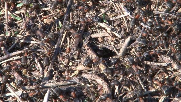 Ants Nest