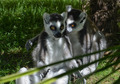 Confidences between Lemurs - PhotoDune Item for Sale