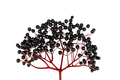 Black Elderberry isolated on white background - PhotoDune Item for Sale