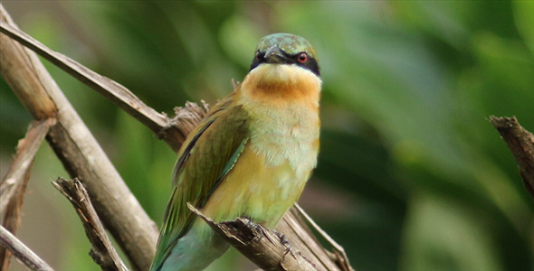 Blue Tailed Bee Eater Pack