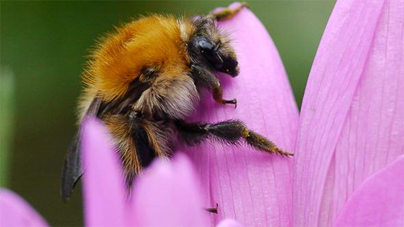 Sleeping Bumblebee 2