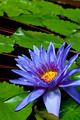 Nymphaea Director George T Moore  - PhotoDune Item for Sale