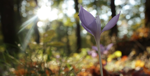 Sunkissed Crocus Blowing in the Wind